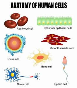 Human Cells  Different Types Of Cells Found In Our Body