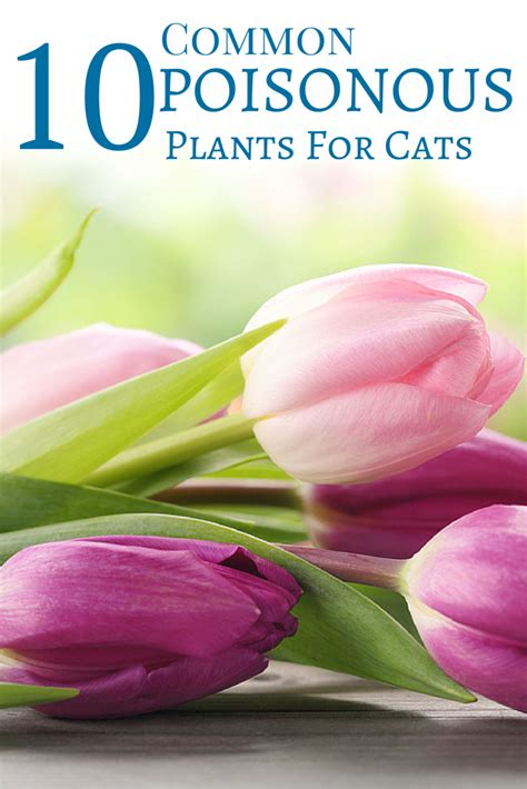 Clusia rosea toxic to cats