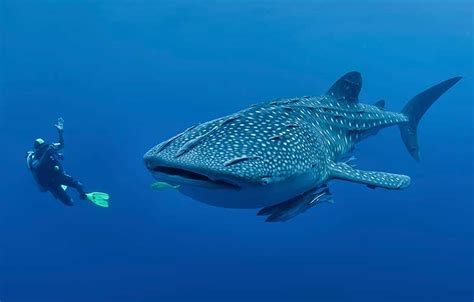 Dive With Whale Sharks Whale Shark In Oslob Cebu Philippines Cebu Tours