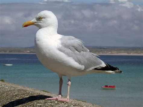 17 Best Images About Seagull On Pinterest  The Seagull