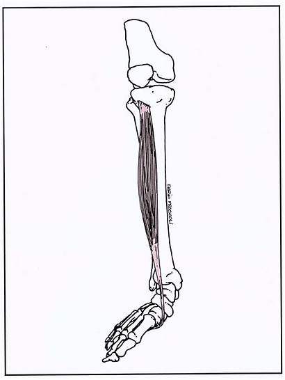 Tibiale Anteriore Stretching Corretto Farlo Modo Come