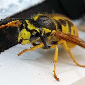 Bombe Insecticide Spéciale Pour Nids De Guêpes Et Frelons : gu pes frelons abeilles boutique vente en ligne ~ Melissatoandfro.com Idées de Décoration