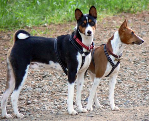 Low Shed Dogs Medium In Size by File Basenji Pair Edit Jpg Wikimedia Commons