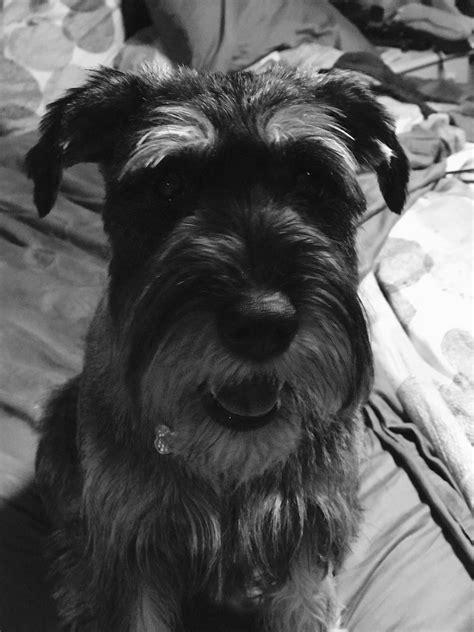 Ellie Belle Standard Schnauzer 10 months | Standard