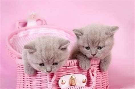 cute kittens   pink basket cats animals background