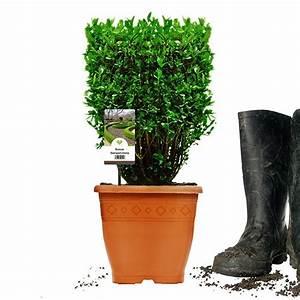 Buchsbaum Im Topf : buchsbaum w rfel 20x20x20cm im topf gewachsen ~ A.2002-acura-tl-radio.info Haus und Dekorationen