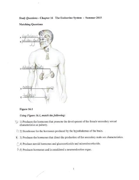print chp  endocrine system study questions flashcards