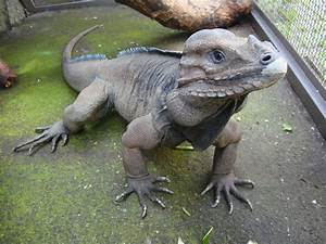 Wow! This lizard looks like a dinosaur!!!! pictures rare ...