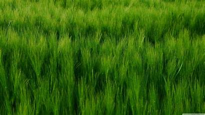 Barley Field Uhd
