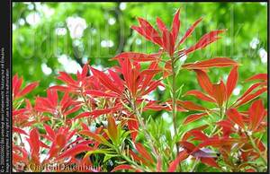 Strauch Mit Roten Beeren Im Winter : immergr ne gartenstr ucher rote bl tter im winter ~ Frokenaadalensverden.com Haus und Dekorationen