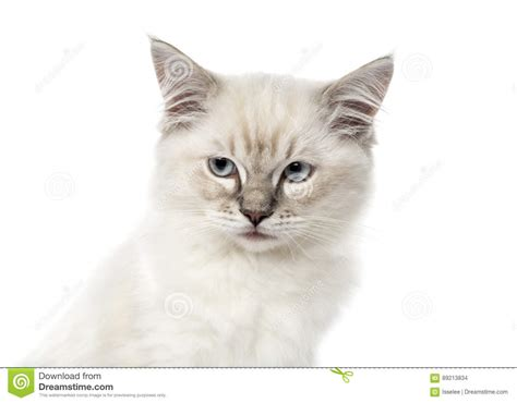 Ragdoll Cat, 7 Months Old Stock Image Cartoondealercom