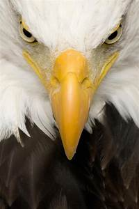 American Bald Eagle Face Wall Decal