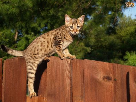 domestic cat breeds the top 8 largest domestic cat breeds pets4homes