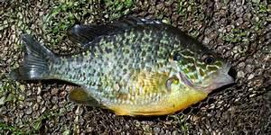 Light Blue Koi Fish Pumpkinseed Canal River Trust