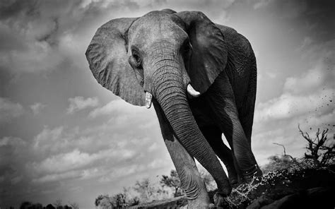 black  white wallpaper elephant  wallpaper