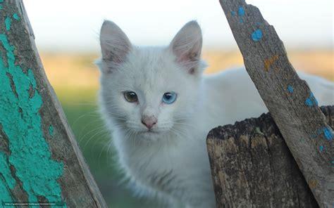 Colore Degli Occhi Diversi scaricare gli sfondi eterocromia gatti bianchi colore