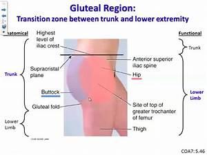 Ga  Gluteal Region Flashcards