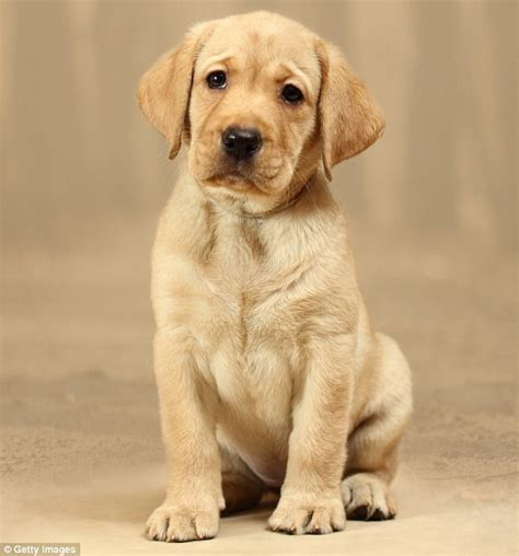 La Dor Tops List Of Most Popular Dog Breeds In Australia