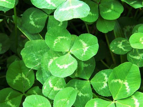clover plant irish moss garden guides