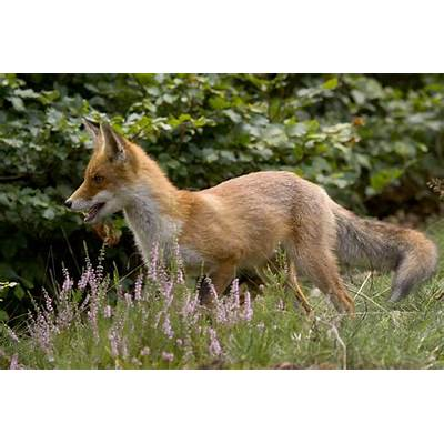 Vulpes vulpes Red Fox