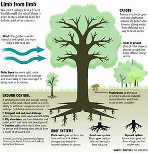 32 Blue Spruce Root System Diagram