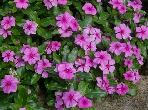 periwinkle plant catharanthus roseus madagascar periwinkle world of flowering plants