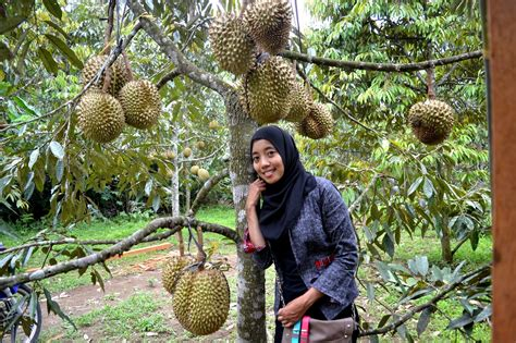 Wisata Kebun Durian Candimulyo: Agro Wisata Kebun Durian
