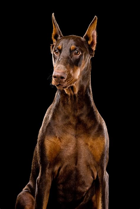 ginger red doberman dog     image