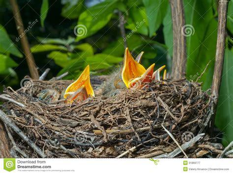 Nest Of Thrush 11 Royalty Free Stock Photography Image