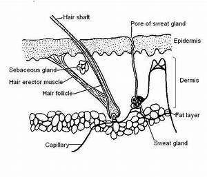 Simple Diagram Of The Skin