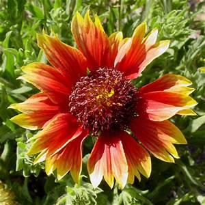Gaillardia pulchella - Firewheel, Indian Blanket, Blanket ...