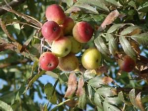 Arbre A Fruit : sorbus domestica cormier arbre ~ Melissatoandfro.com Idées de Décoration
