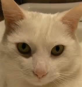 White American Shorthair Cat