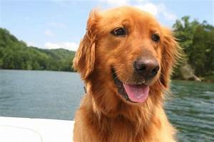 Golden Red River : 10 friendly facts about the golden retriever mental floss ~ Orissabook.com Haus und Dekorationen