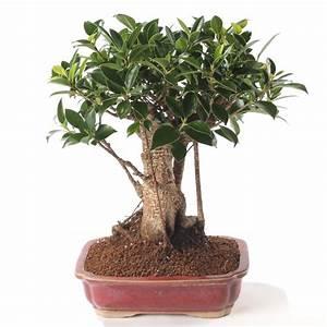 Comment Tailler Un Ficus : comment rempoter un ficus ~ Melissatoandfro.com Idées de Décoration