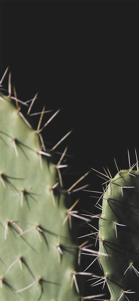 wallpaper cactus needles black background  uhd