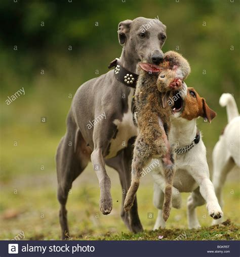 Whippet And Terrier Tug Of War With Rabbit Stock Photo ...