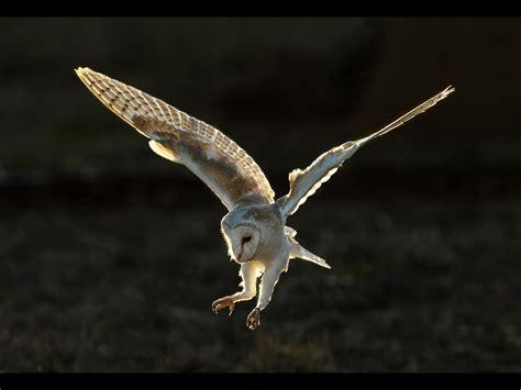barn owl landing graham johnston aprs surrey photographic association