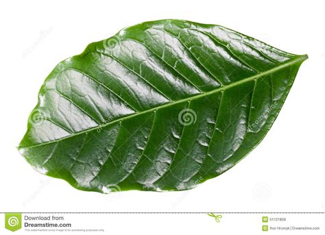 Coffee Leaf Stock Photo. Image Of Color, Green, White Best Kicking Horse Coffee For Cold Brew Talk Pictures Heart With Good Morning Starbucks Reusable Cup Sleeve Email Washington Sale