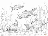 Coloring Pages Comet Goldfish Template Crucian sketch template