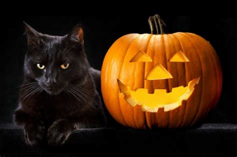 Wallpaper Cat And Pumpkin by Black Cat Cats Animals Background Wallpapers