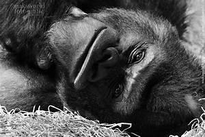 Schwarz Weiß Bilder Tiere : zoo affen schwarz weiss maksworld fotografie basel oberwil ~ Markanthonyermac.com Haus und Dekorationen