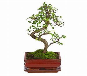 Bonsai Pflege Für Anfänger : bonsai chinesische ulme 8 jahre dehner garten center ~ Frokenaadalensverden.com Haus und Dekorationen
