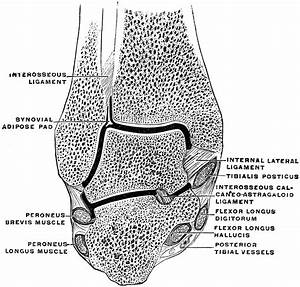 Coronal Section Through The Ankle Joint