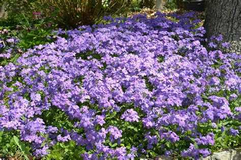 purple flower perennial plants pictures to pin on
