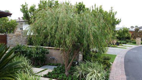 agonis flexuosa village nurseries wholesale plant tree