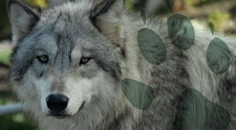 Gray Wolf Cougar Mountain Zoo