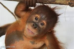 20 orangutan pictures for World Orangutan Day