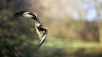 Hawks Birds Flies Animals Nature Hawk Fly