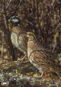 6 cool facts about northern bobwhite quail - DNR News Releases